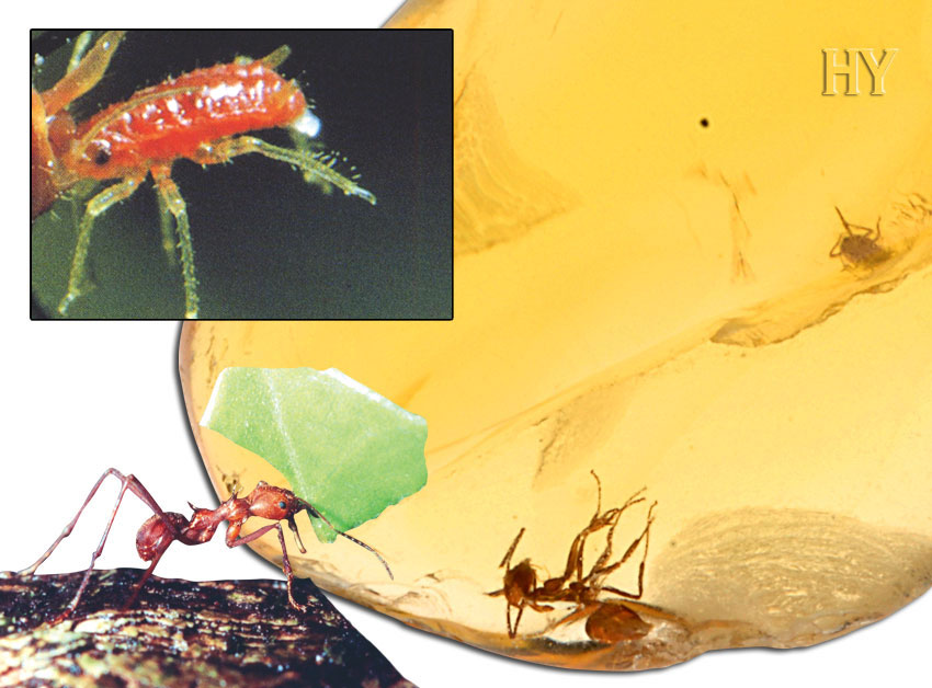aphids, amber, worker ant, ants