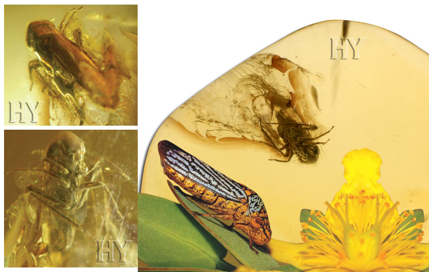 leafhopper, evolution, fossil