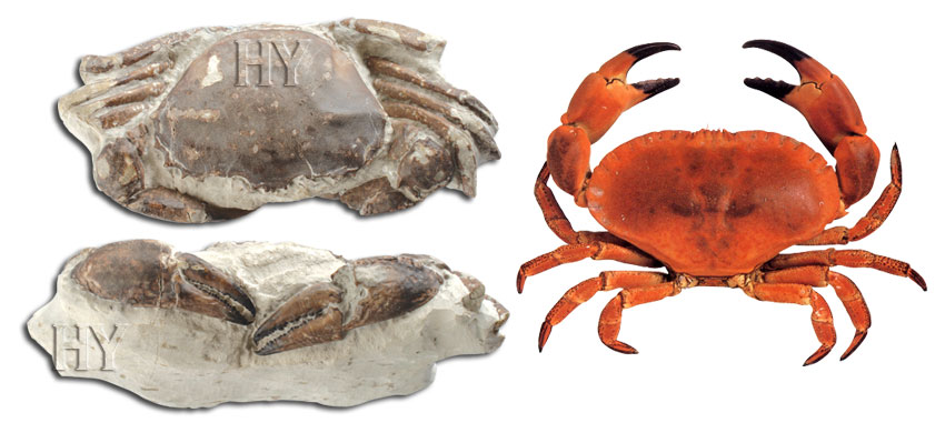 crabe, fossile