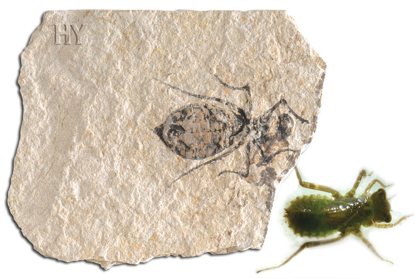 theory of evolution, dragonfly, larvae, fossil