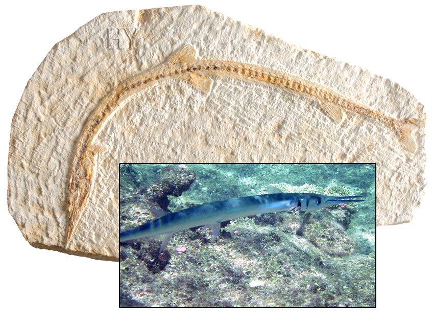 needlefish, fossil