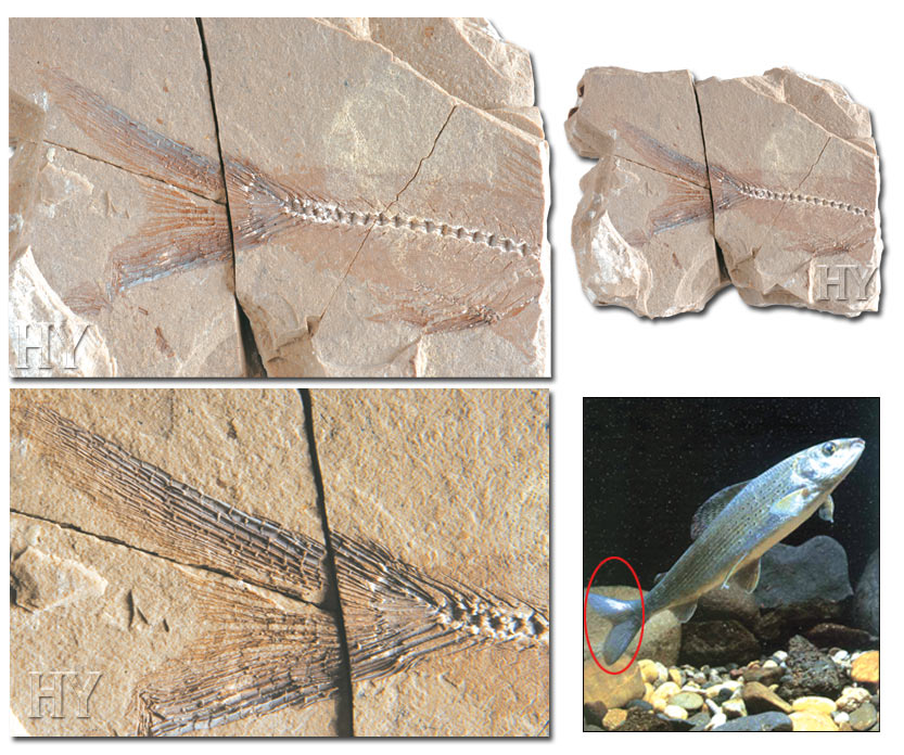 Trout tail and fossil