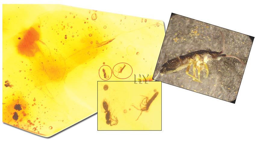 theory of evolution, fossil, springtail, parasitic wasp
