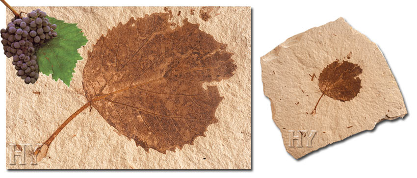 grape leaf, fossil