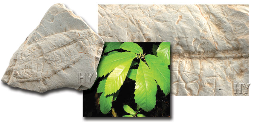 horse chestnut leaf and fossil