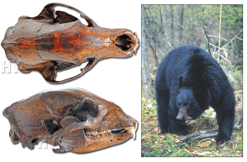 bear skull and fossil