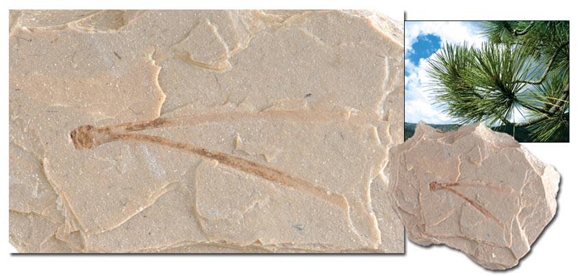 Pine Leaf and fossil