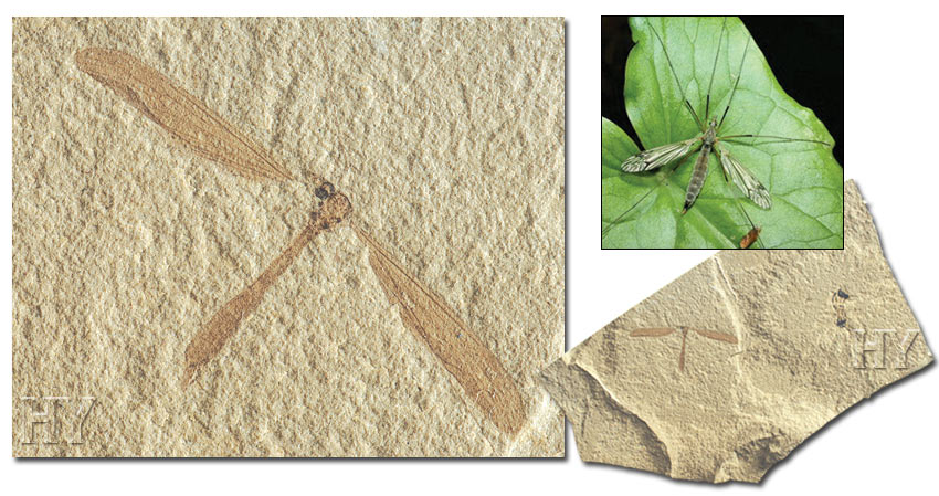 Meadow mosquito and fossil