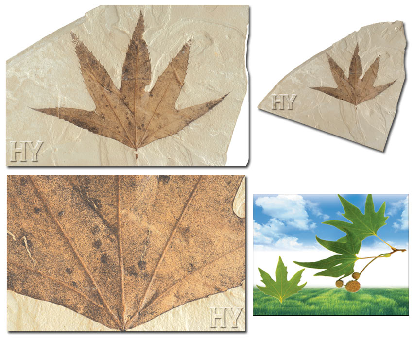 Sycamore Leaf and fossil