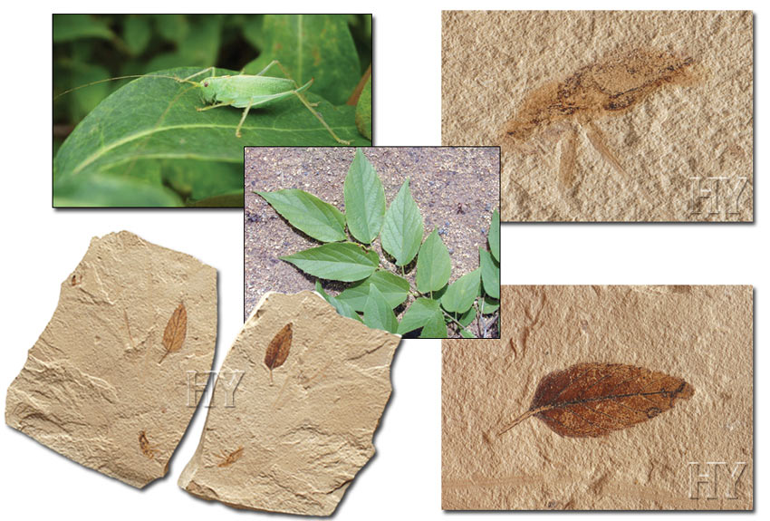 hackberry leaves, crickets, fossil