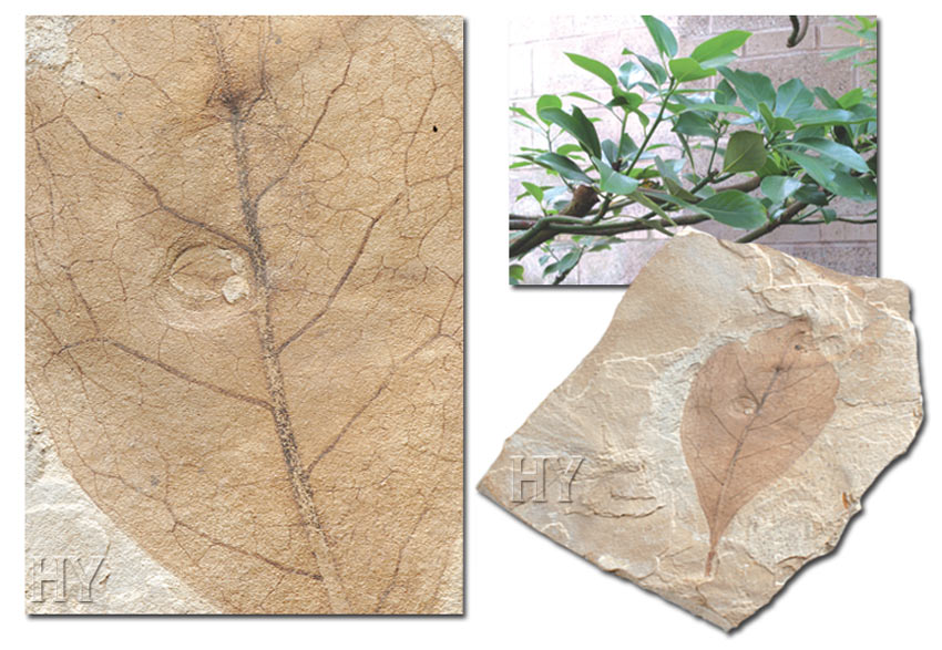 bay leaf and fossil