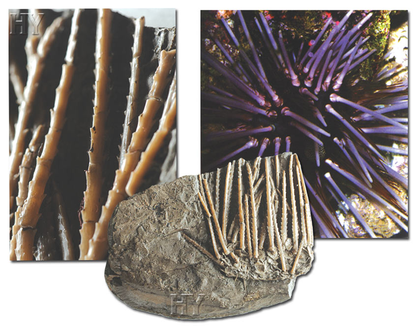 sea ​​urchins and fossils