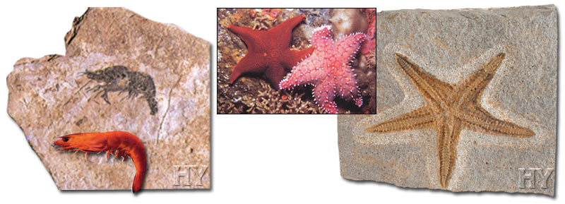 starfish, evolution, Shrimp, Fossils