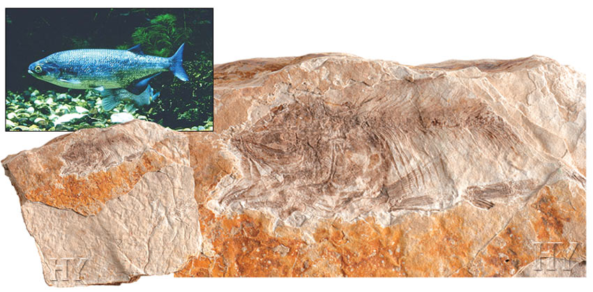 mooneye fish, fossil