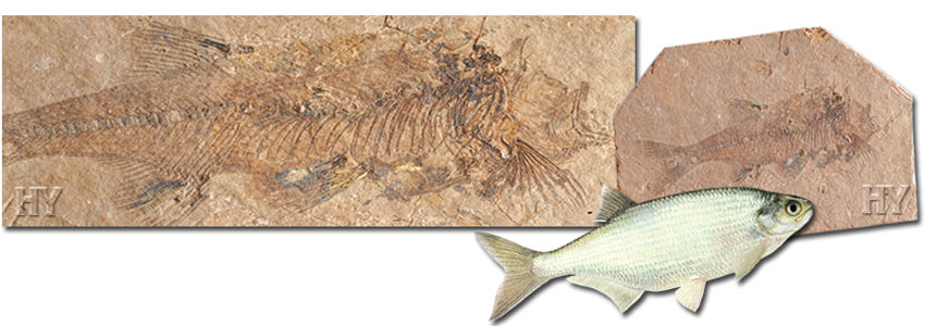 fossil, mooneye fish