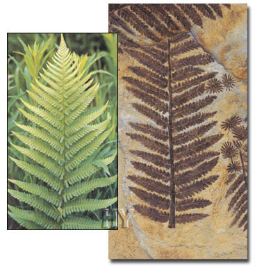 Ferns, evolution theory, fossil