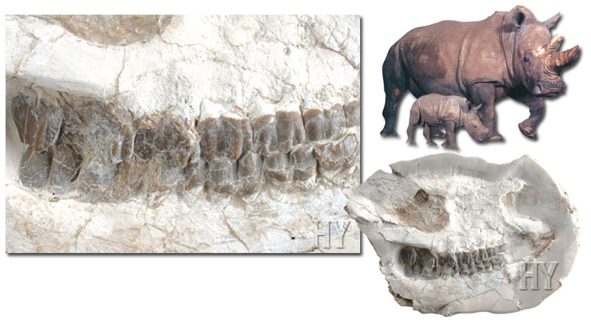 rhino skull and fossil