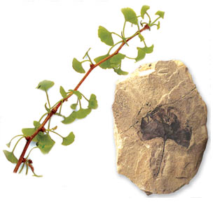 ginkgo tree, Triassic, Period, Jurassic