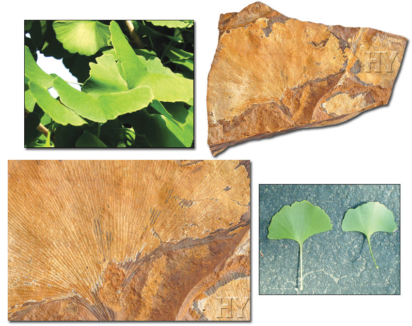 Ginkgo Leaf and fossil