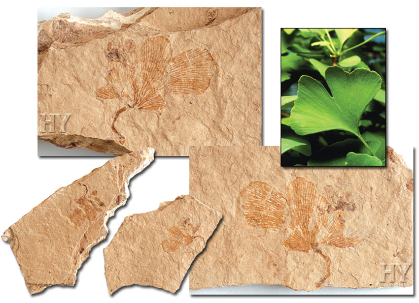 and fossil ginkgo leaf