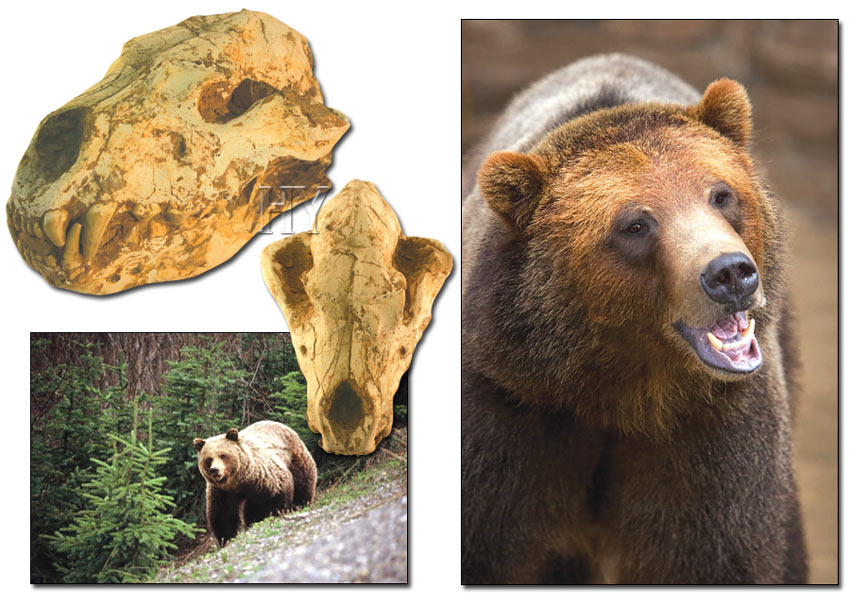 grizzly, bears, fossil