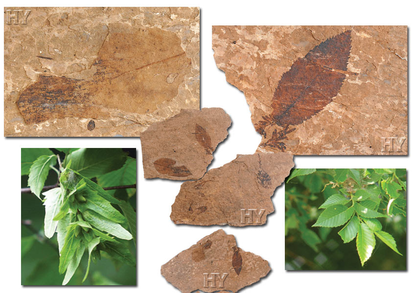hornbeam, elm, leaves, fossil