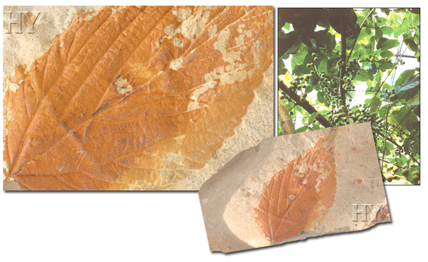 figs, leaves, fossil