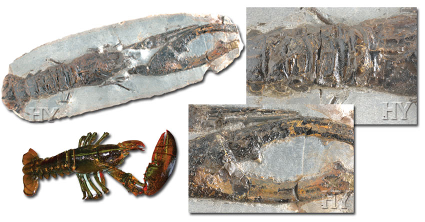 lobster, fossil