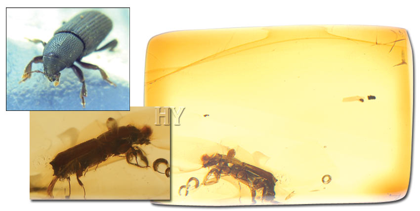 evolution, amber, Bark beetle, mite, fossil