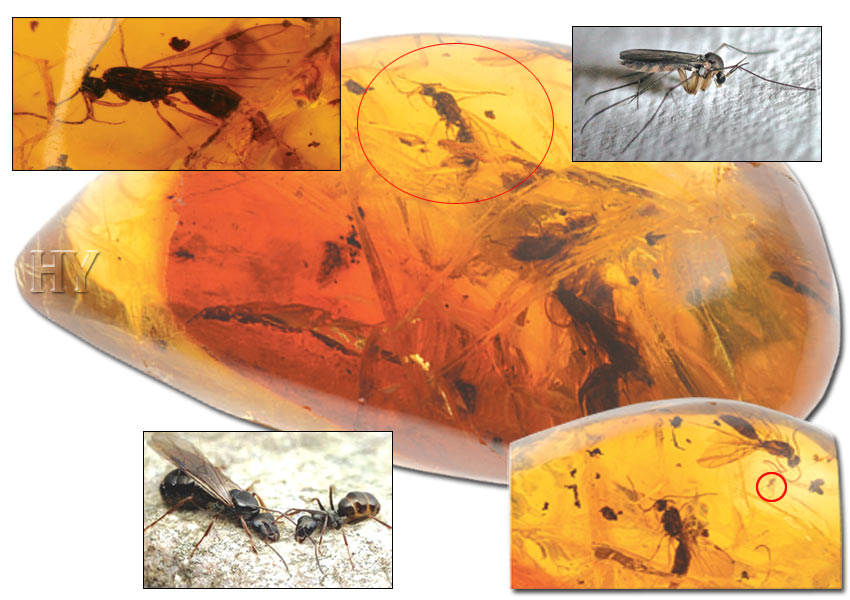 Winged ants, gall gnat, fossil, evolution