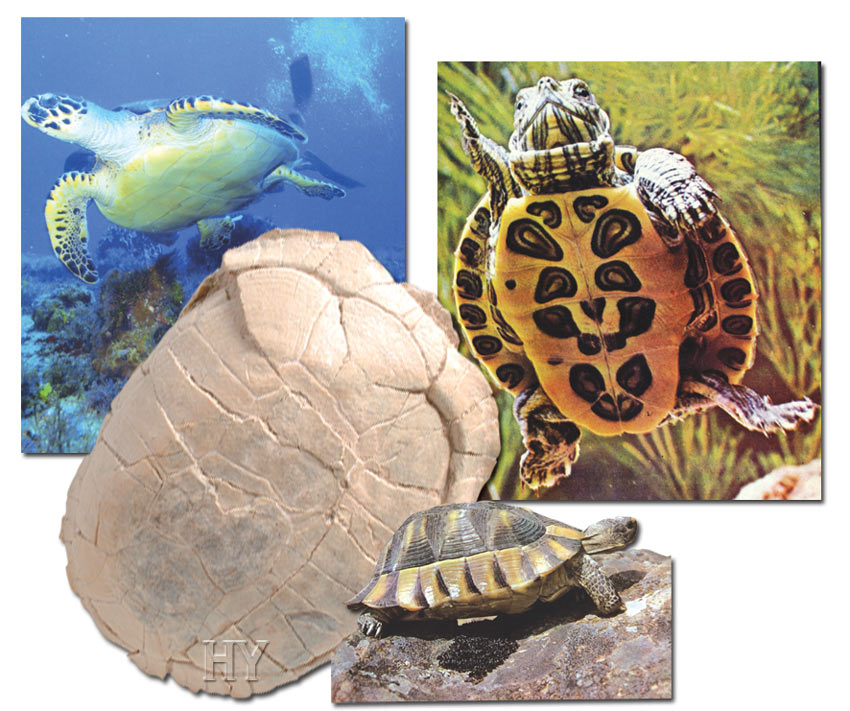 and fossil turtle