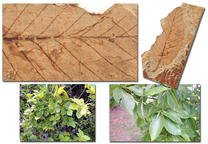 elm, leaf, trees, fossil
