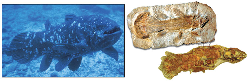 fossil, Coelacanth