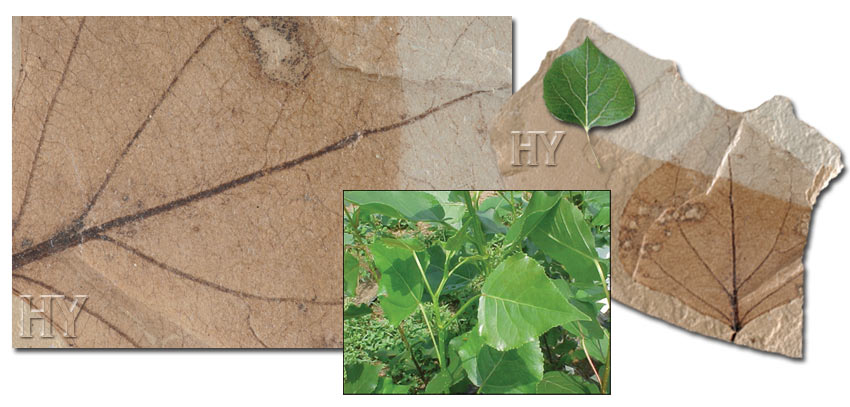 poplar leaves and fossil