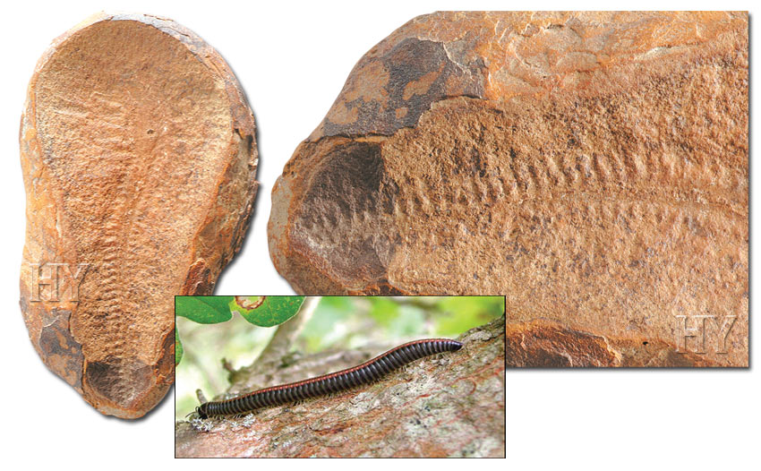 Centipedes and fossil