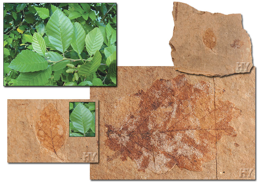 evolution, Alders, fossil, leaf