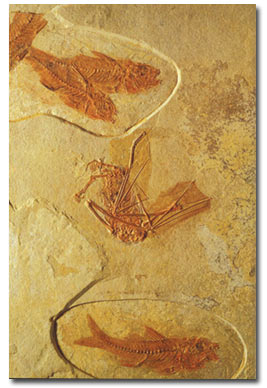fish, fossil, bat, France