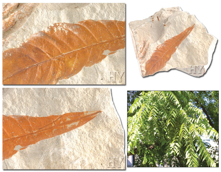 HICKORY LEAF, the fossil