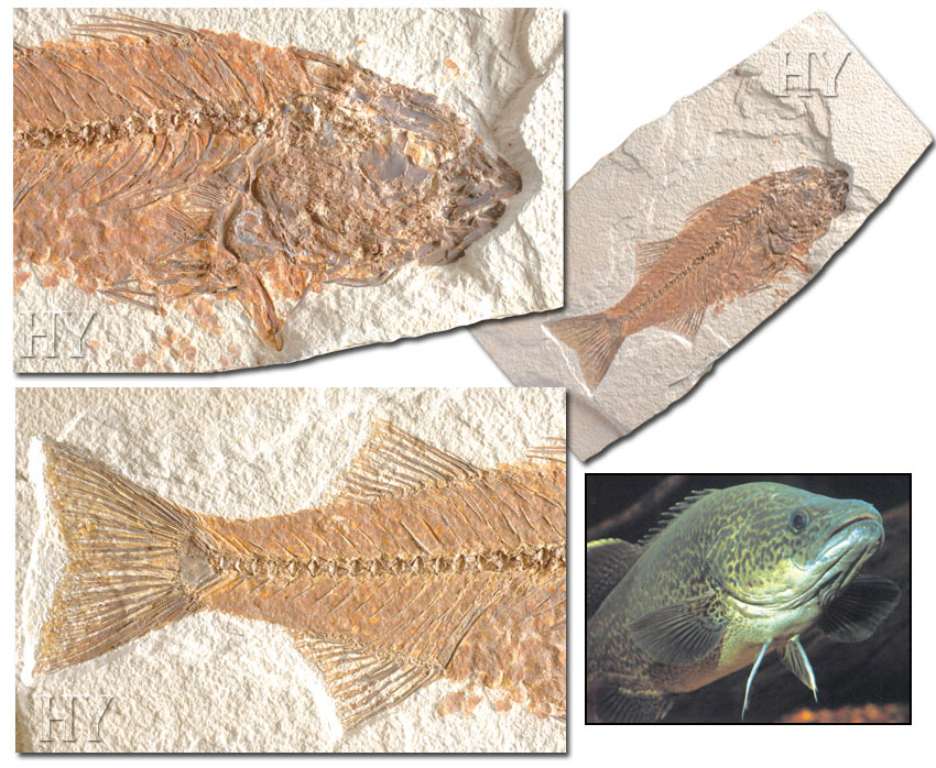 perch fossils