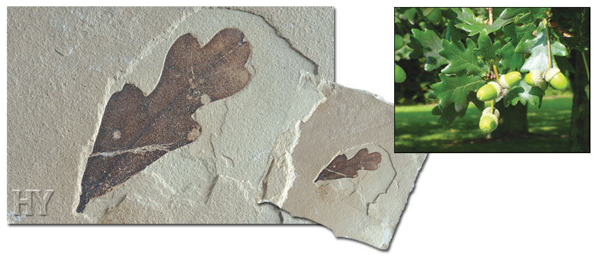 oak leaves and fossil