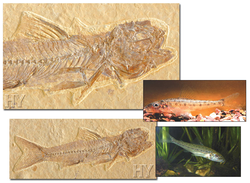 fossil, trout-perch