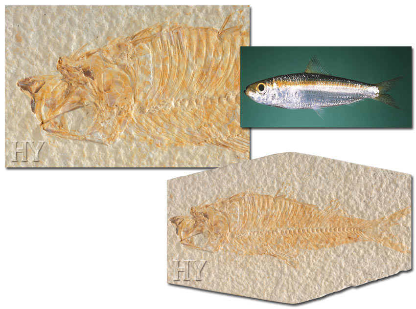 herring, evolution, fossil
