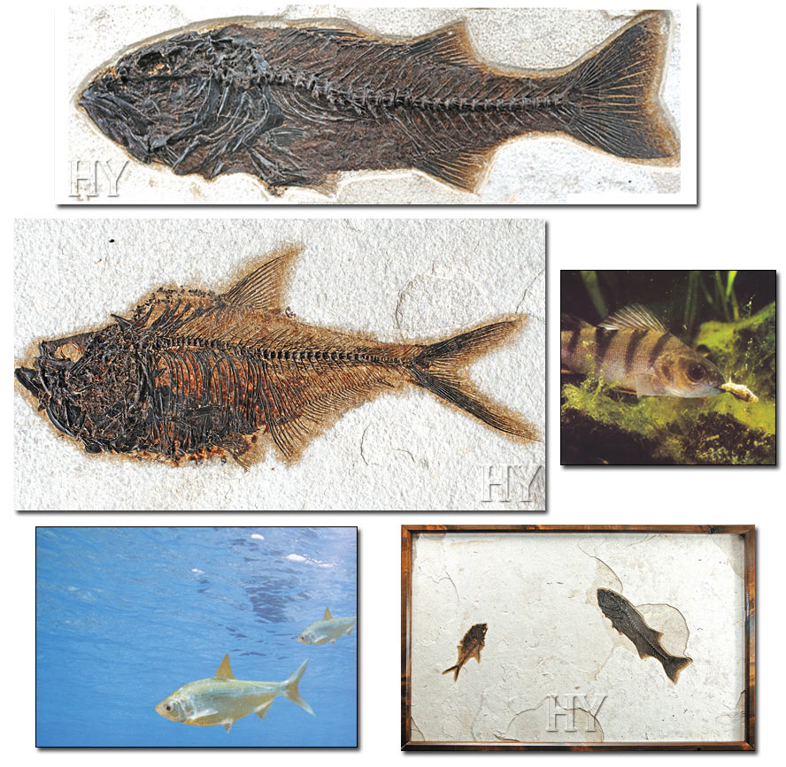 herring, perch, fossil
