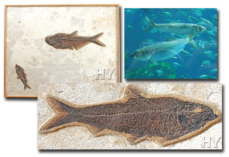 herrings, fossil