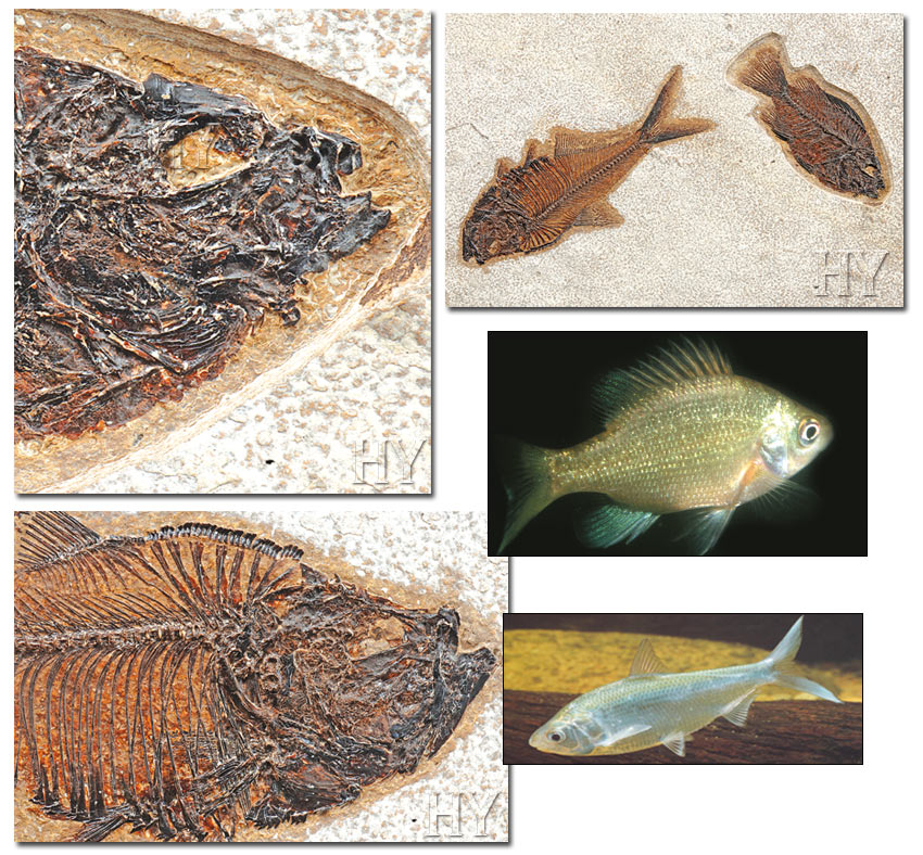herring, sunfish and fossil