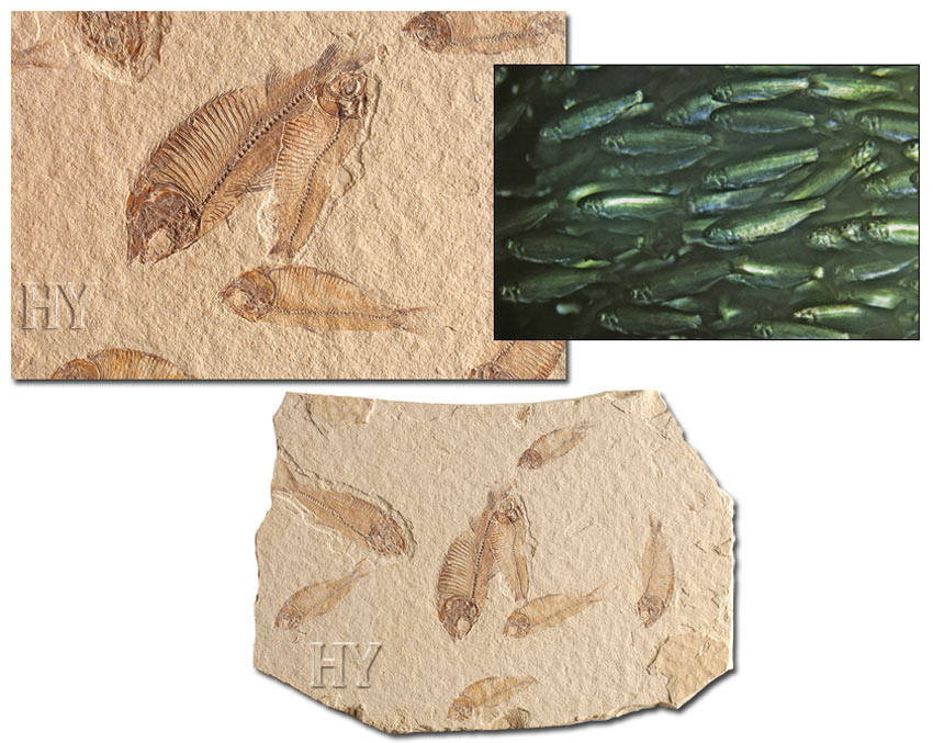 Sardine fish and fossil