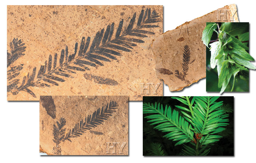 redwood, beech leaves, fossil