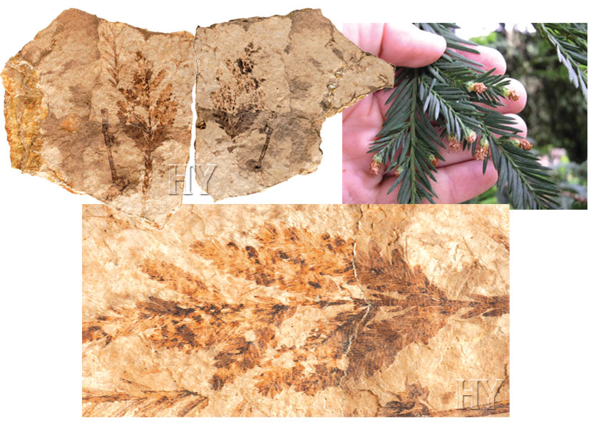 sequoia, trees, fossil