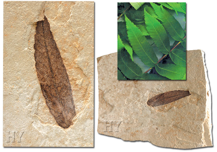 Sumac leaves and fossil