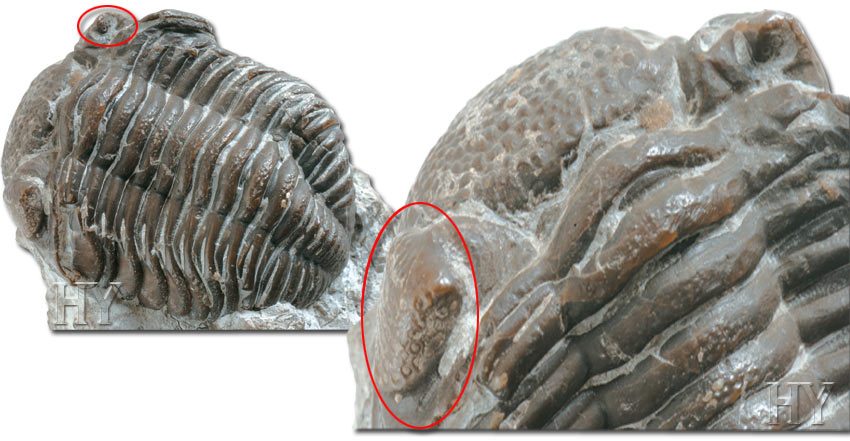 Trilobite and fossil